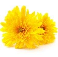 extrait de chrysanthème